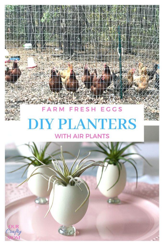Farm fresh eggs used as planters