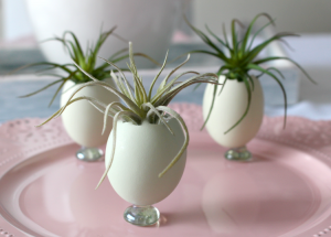 Natural Blue Eggs Used As Planters With Air Plants