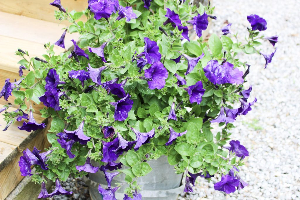 petunias in bucket