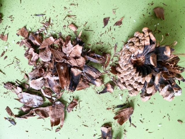 broken up pine cones
