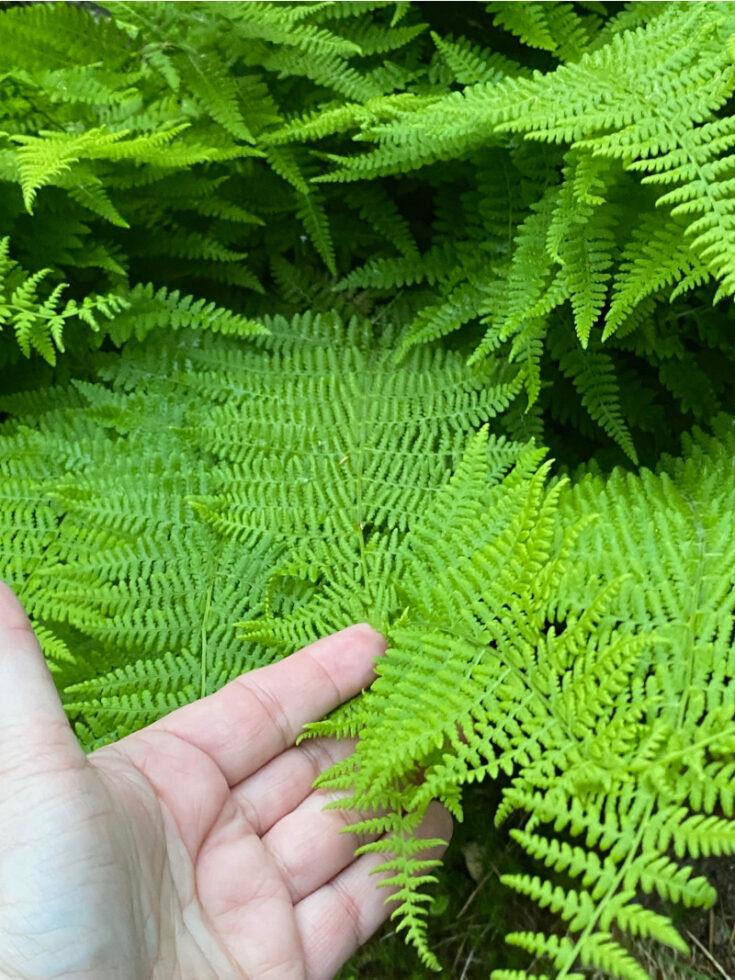fresh ferns in the yard